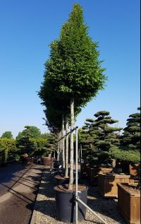 Große Pflanzen und Bäume für den Messebau