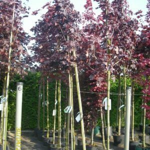 acer-platanoides-royal-black