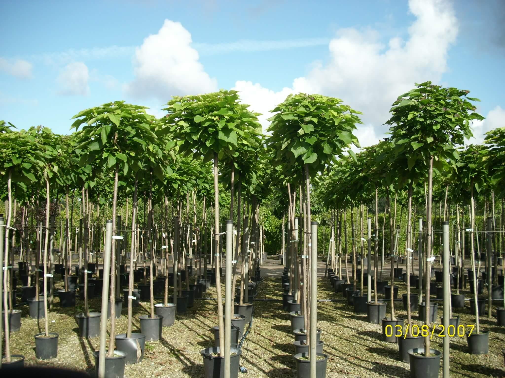 Große Laubbäume als Hochstammbäume