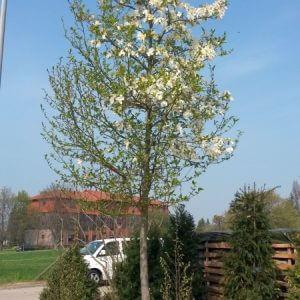 baum-magnolie-kobus