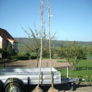Haselbäume Corylus