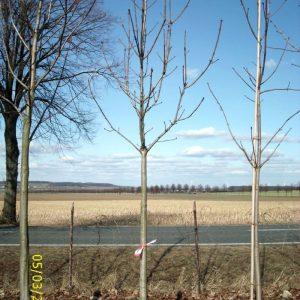 baumlieferung-kastanienbaum-bmw-darmstadt