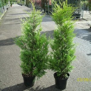 baumzypresse-castlewellan-gold-100-125cm