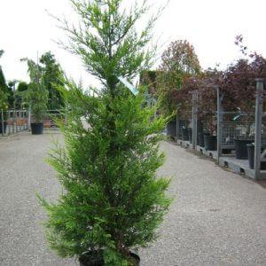 baumzypresse-leylandii-80-100cm