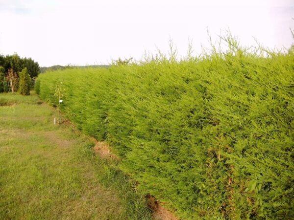 baumzypressen-als-hecke