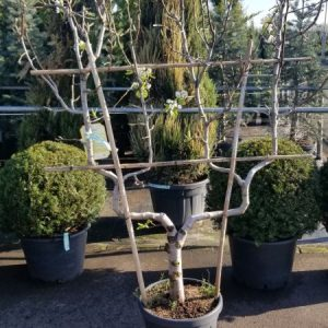 birnenbaum-doppel-u-spalier