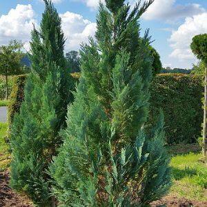 blaue-saeulenzypresse