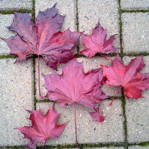 blutahorn-royal-red-herbstlaub