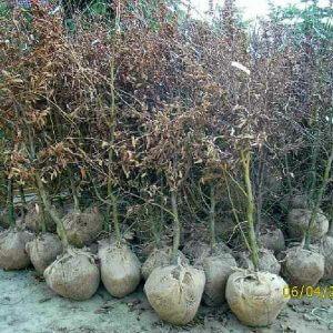carpinus-betulus-hainbuche