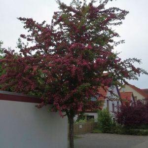 crataegus-laevigata-pauls-scarlet