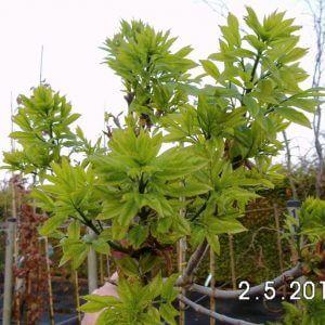 Eschenbäume