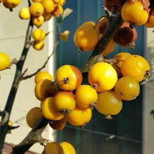 gelber-zierapfel-fruechte
