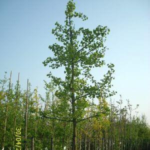 Ginkgobäume
