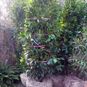 grosse-kirschlorbeer-250-300cm