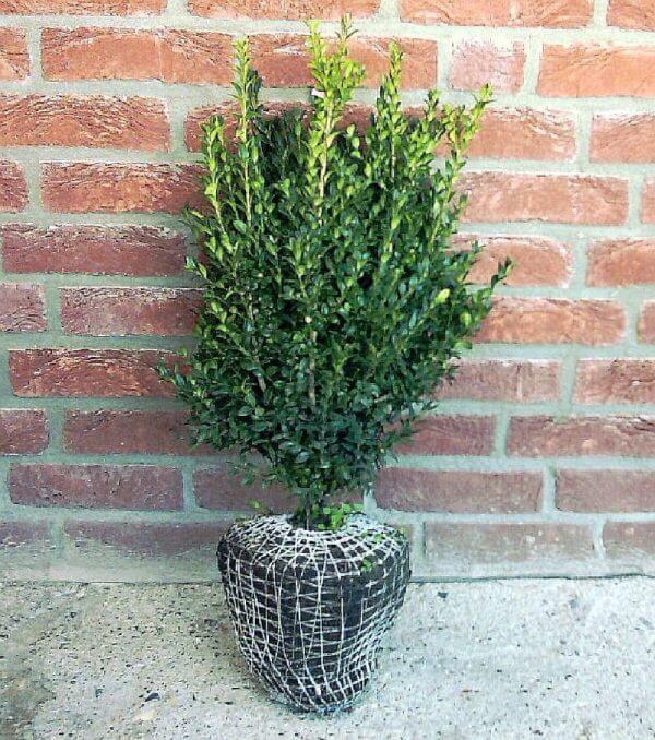 heckenbuchsbaum