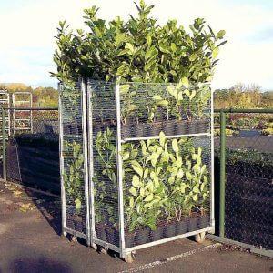 kirschlorbeer-rotundifolia