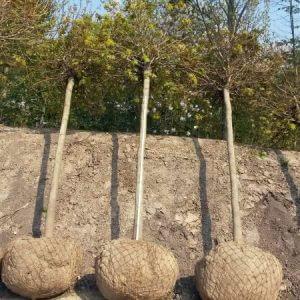 kugelahorn-globosum-hochstamm-stammumfang-20-25cm
