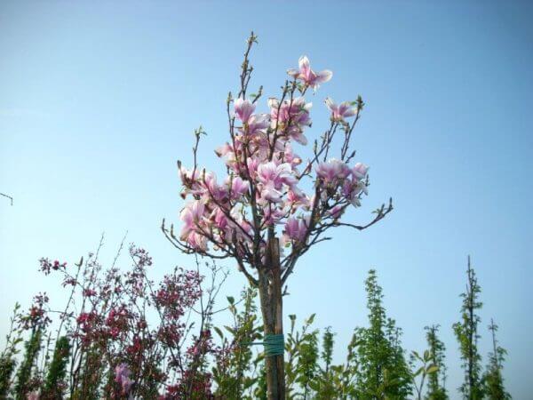 magnolia-soulangeana