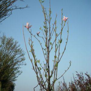 magnolia-soulangeana-hochstamm