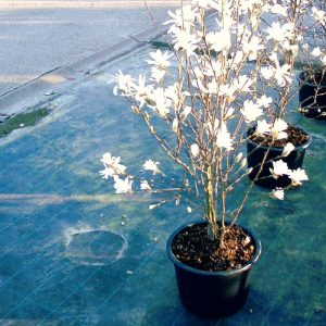 magnolia_stellata