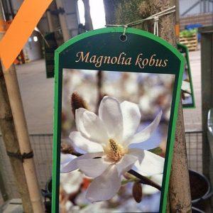 magnolie-kobus-bluete