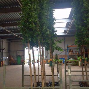 magnolie-kobus-hochstamm
