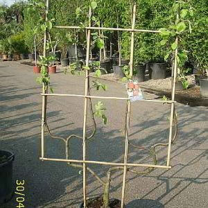 obstbaum-spalier-doppel-uform