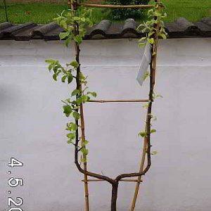 obstbaum-spalier-einfach-uform