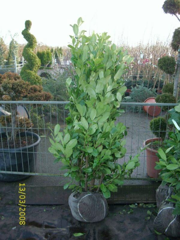 prunus-laurocerasus-rotundifolia