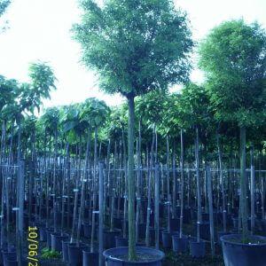 robinia-pseudoacacia-umbraculifera
