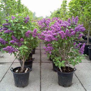syringa-vulgaris-ludwig-spaeth-container