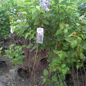 syringa-vulgaris-michel-buchner