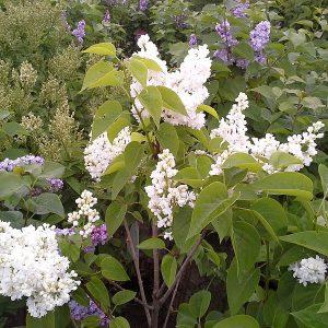 syringa-vulgaris-mme-lemoine-bluete
