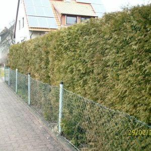 thuja-brabant-hecke