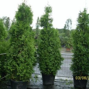thuja-occidentalis-brabant-225cm