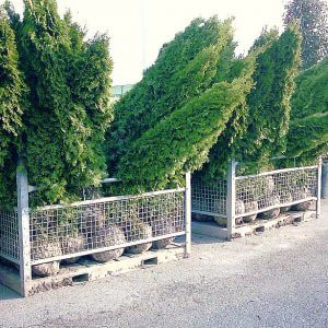 thuja-occidentalis-smaragd-250cm