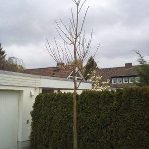 trompetenbaum-hochstamm