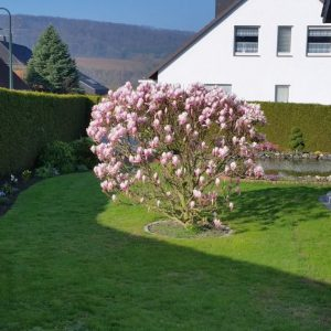tulpenmagnolie-soulangiana-strauch