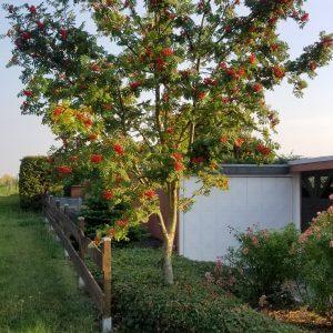 Vogelbeere Hausbaum