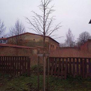 winterlinde-hochstamm
