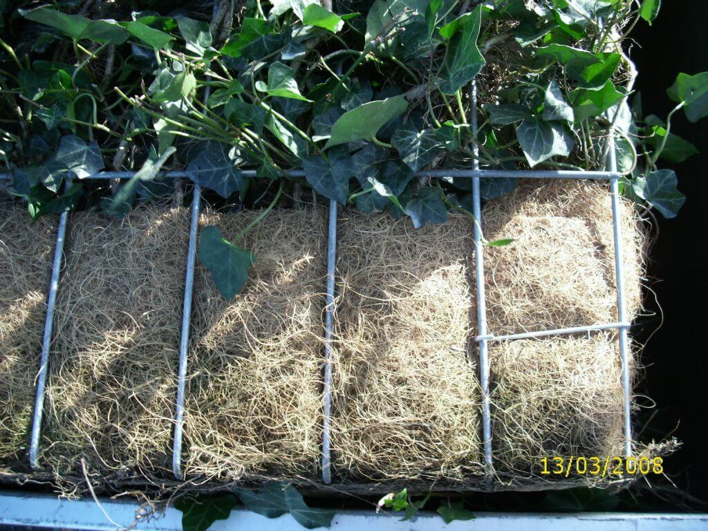 Efeu Fertighecken im fertigen Pflanzcontainer - Umweltfreundlicher Topfballen aus Kokosfaser
