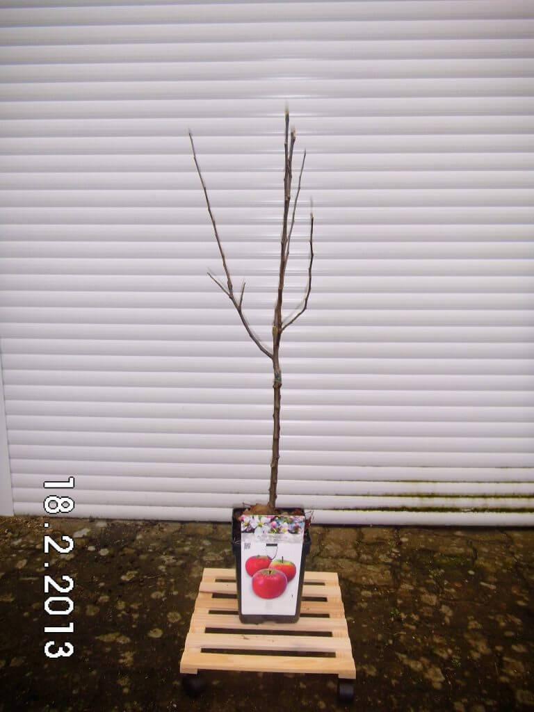 Spindelobstbaum